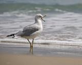 gull talking