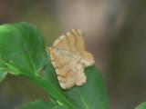 Ockragul buskmätare - Macaria brunneata (Itame b.) - Rannoch Looper