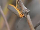 Mörkgrå lavspinnare - Eilemia complanum - Scarce Footman
