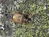 Spetsrovbärfis - Picromerus bidens - Spiked Shieldbug