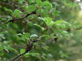 Fortfarande lite rester av häggspinnmalens när - Still some traces of the Bird-cherry Ermine