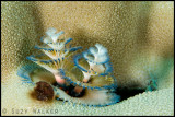 Christmas tree worms subgallery