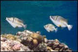 3 Picasso fish