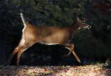 Cerf de Virginie -- _MG_6786 -- White-tailed Deer