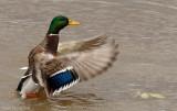 Canard colvert, Mallard Duck