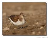 Oeverloper    -    Common Sandpiper