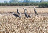 big bird society