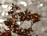Fall Rose Leaves.jpg