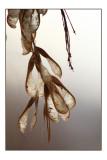 Maple seeds2.jpg