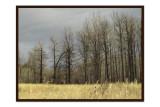 Cottonwoods in Winter.jpg