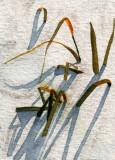 Grasses in Snow        11-09