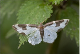 Gerande spanner - Lomaspilis marginata