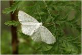 wit Spannertje - Asthena albulata