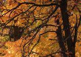 Oaks and Maples.jpg