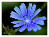 wasp on chicory