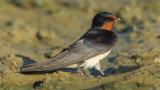 Swallow, Echandens, Switzerland, July 2008