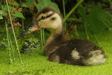 Mallard duck (anas platyrhynchos), Lonay, Switzerland, July 2008
