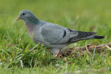 Stock dove, Saint-Prex, Switzerland, December 2008