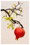 Bonsai Pomegranate.jpg
