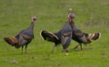 Wild Turkey beak in crop
