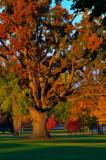 The Old Oak In Delaware Park