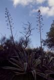 agaves