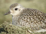 Black-bellied Plover (juvenile )