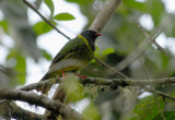 Green-and-black Fruiteater2