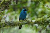 Turquoise Jay2