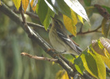 Blackburnian Warbler4