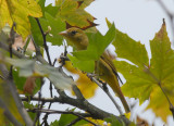 Summer Tanager2