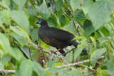 Sickle-winged Guan5