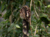 Andean Potoo2