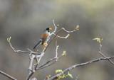 Buff-bridled Inca-Finch