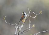 Buff-bridled Inca-Finch2