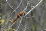 Chestnut-backed Thornbird