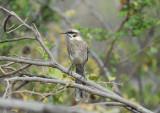 Long-tailed Mockingbird2