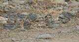 Sulphur-throated Finch