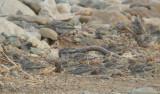 Sulphur-throated Finch2