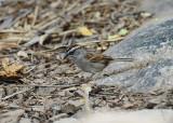 Tumbes Sparrow2