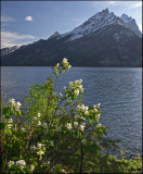 Flowers of the Grand Tetons
