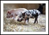 These little piggies didn't go to market