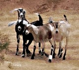 Out At the Goat Pen with the Nubian Goats