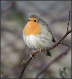 Robin / Roodborst / Erithacus rubecula