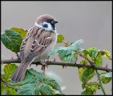 Tree Sparrow / Ringmus / Passer montanus