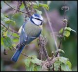 Blue Tit / Pimpelmees / Parus caeruleus