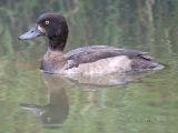 Tufted Duck / Kuifeend / Aythya fuligula
