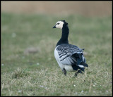 Barnacle Goose / Brandgans / Branta leucopsis