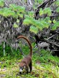 Coati on Hunt, Jungles of Edzna
