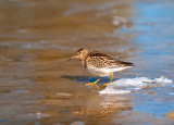 Waders and other water birds